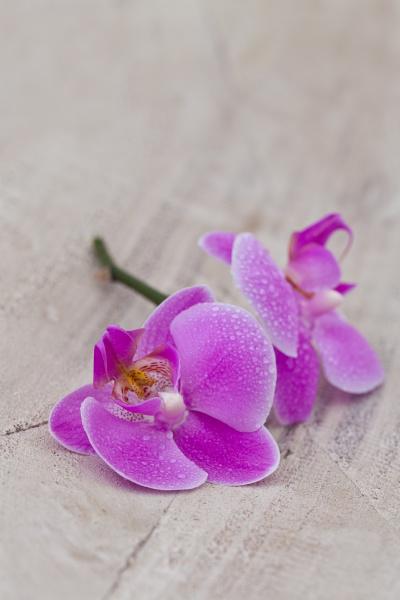 pink orchid flower still life