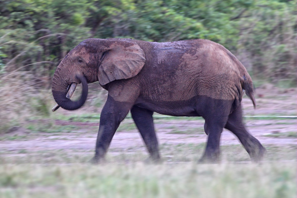 democratic republic of congo elephant walking