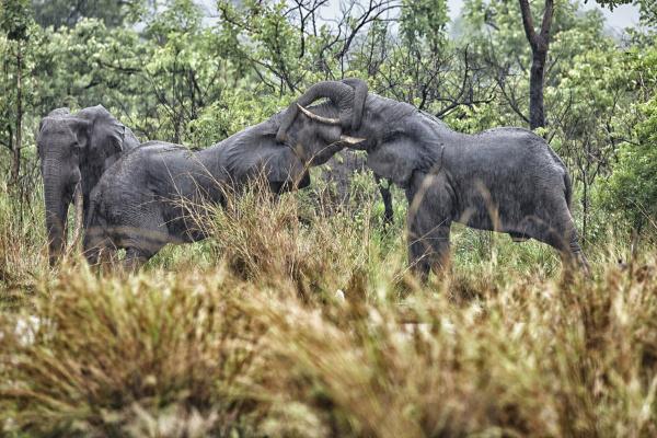 democratic republic of congo two elephants