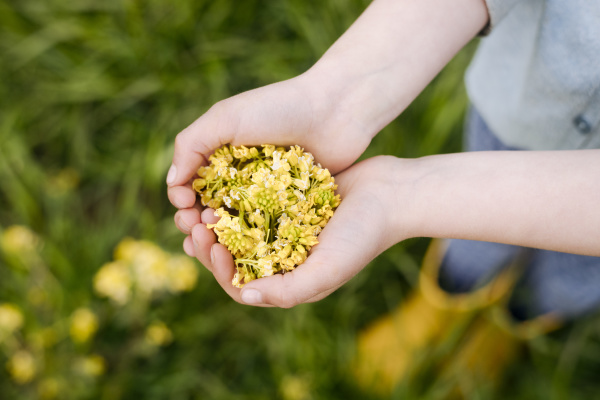 girls hands with rape flowers