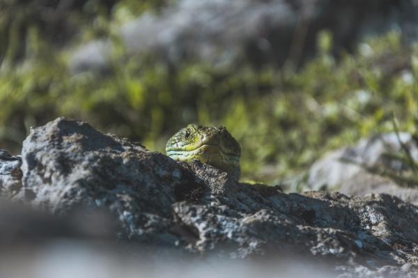 close up of green lizard on