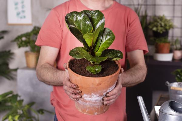 mature man holding fiddle leaf fig