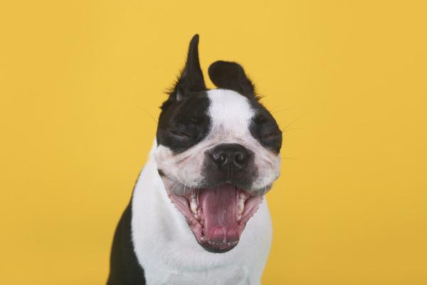 portrait of boston terrier puppy yawning