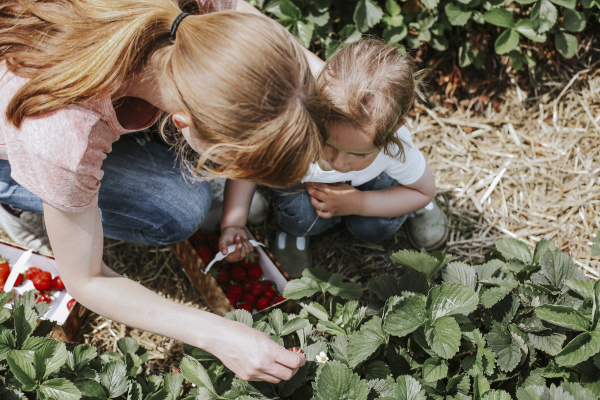 mother and daughter picking strawberries on