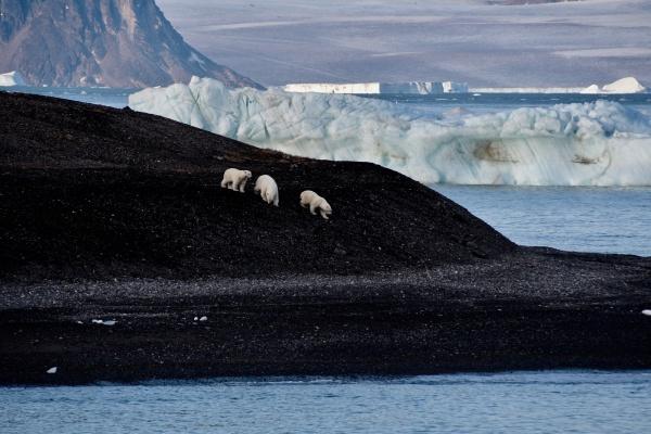 polar bear mother and cubs walking