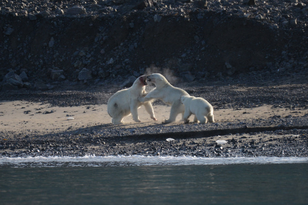 male and female polar bears fighting