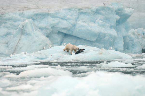 polar bear on sea ice hunting