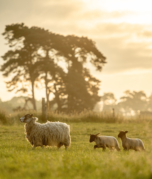sheep followed by her lambs in