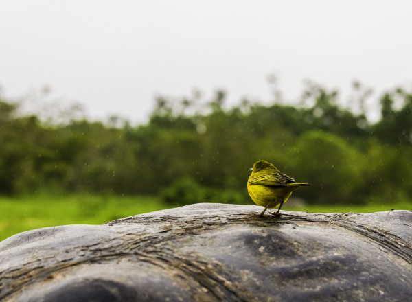 galapagos finch on giant tortoise shell
