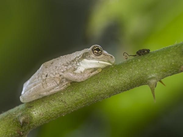 an adult amazonian milk frog