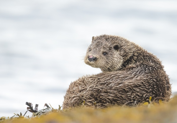otter lutrinae west coast of scotland