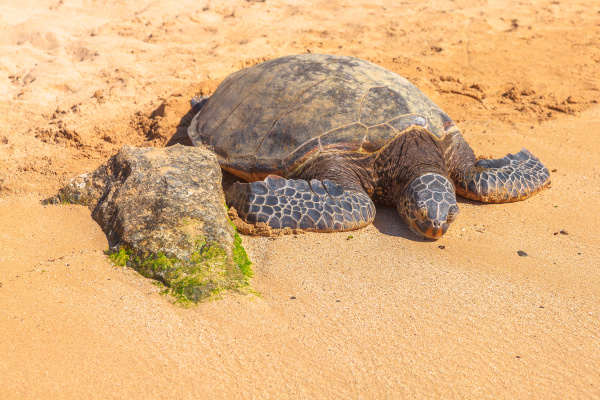 hawaiian sea turtle green sea turtl