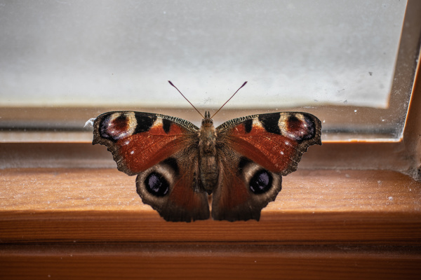 butterfly flutters at the window