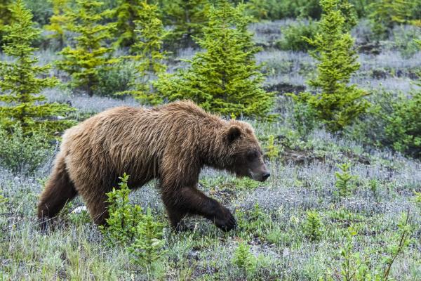 grizzly bear ursus arctos horribilis along