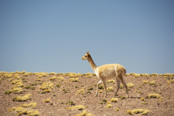 guanaco lama guanicoe walking from right