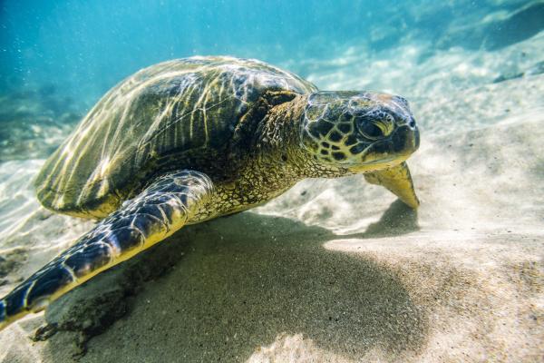 an endangered green sea turtle chelonia