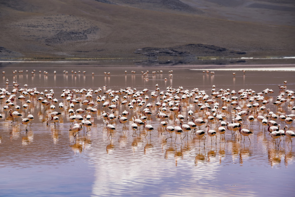 flamingos on laguna colorada eduardo avaroa