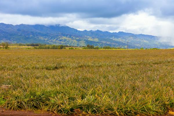 pineapple crop oahu hawaii