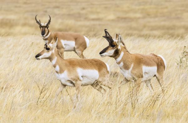 pronghorn bucks and doe antilocapra