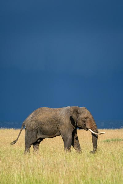 african bush elephant loxodonta africana walking