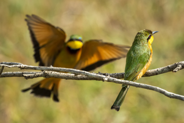 little bee eater merops pusillus perched