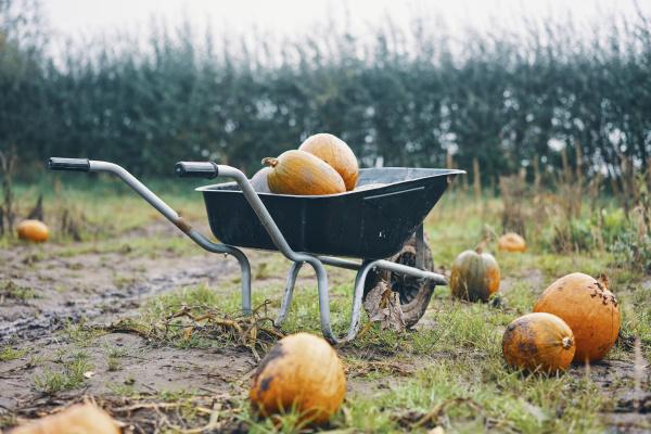 a wheelbarrow of pumpkins in a