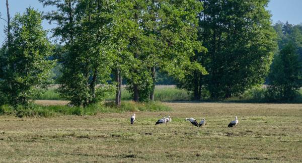 white storkciconia ciconia herd gathering in
