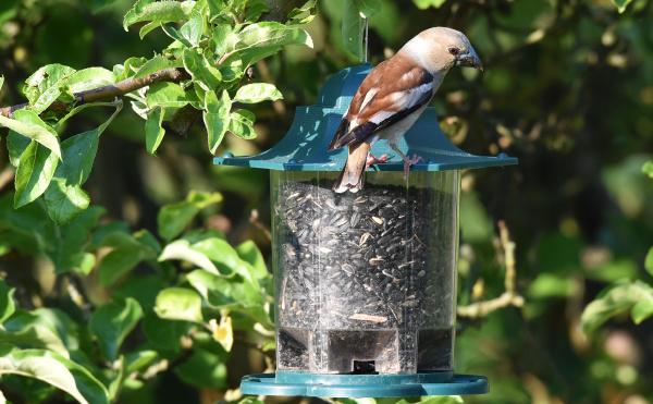 grosbeak at the automatic feeder