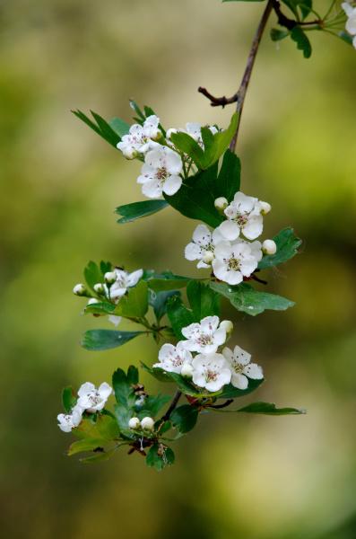 crataegus rosaceae flowers of a flowering