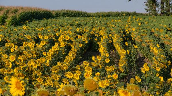sunflower field in summertime morning