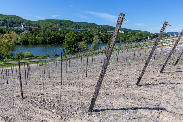 newly planted vineyard with metal posts