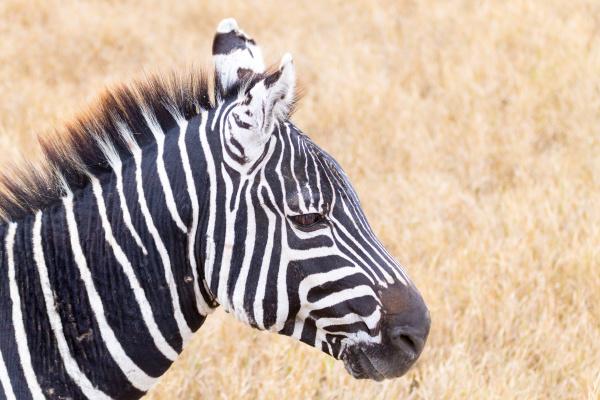 zebra close up ngorongoro conservation