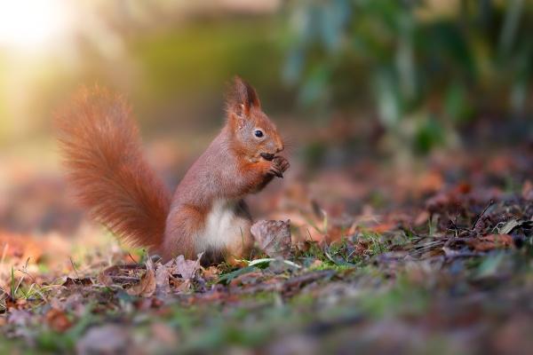 little red squirrel biting nut in