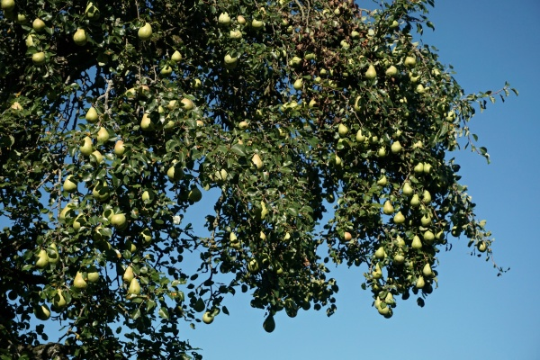 green pears harvest part of the