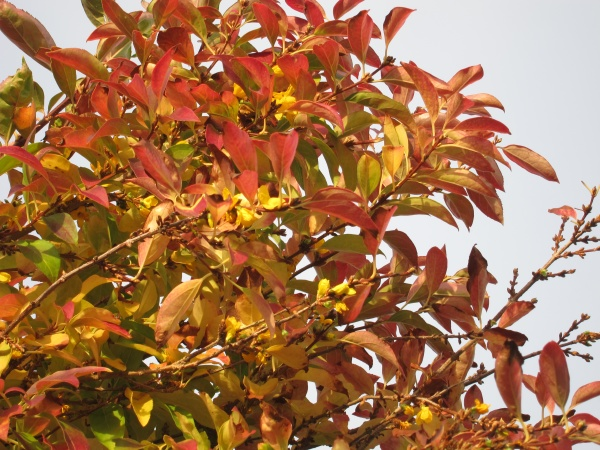 forthysia in bloom in autumn