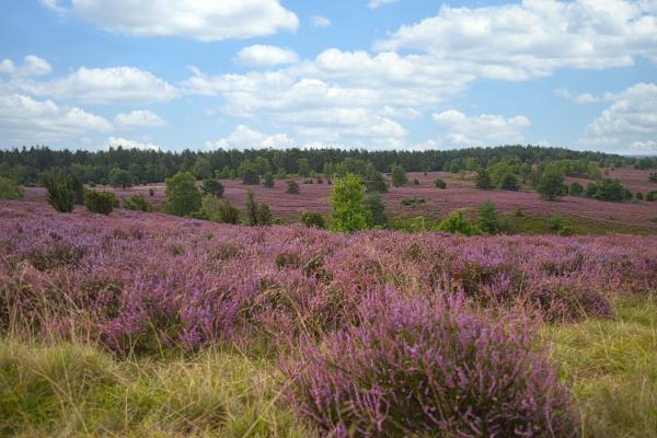 heath bloom in the lueneburg heath