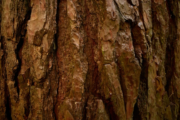 pine tree bark texture close up