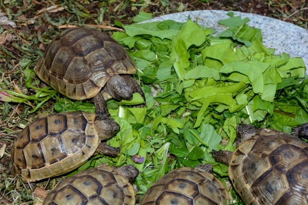 turtles hatchlings while eating