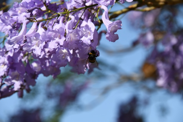 blooming jacaranda in the province of