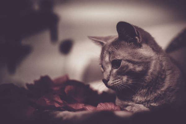 cat playing with lights and roses