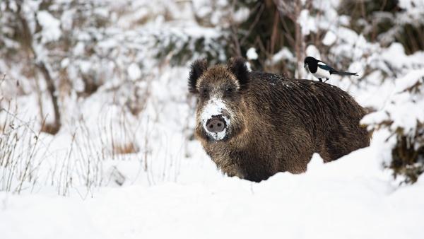wild boar standing on white field