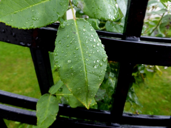 leaves with rain drops at a