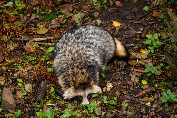 a raccoon dog in the forest