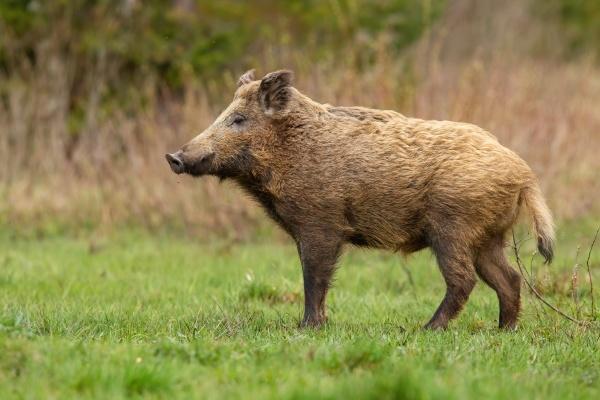 big wild boar standing on meadow