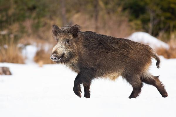 wild boar walking on snowy meadow