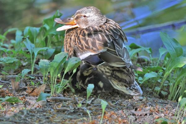 mallard female with chicks