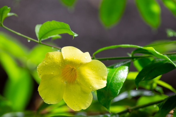 a yellow native flower of madagascar