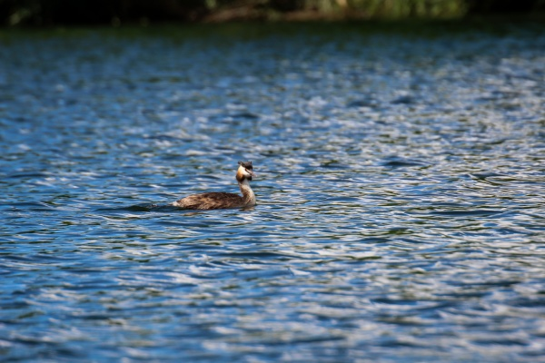 a great crested grebe swims laps