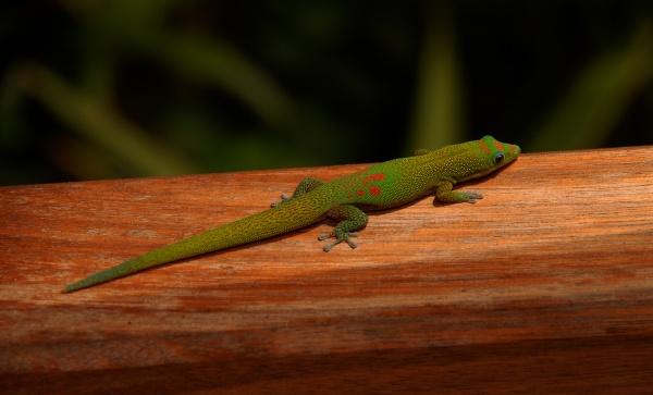 green madagascar taggecko lizard on a