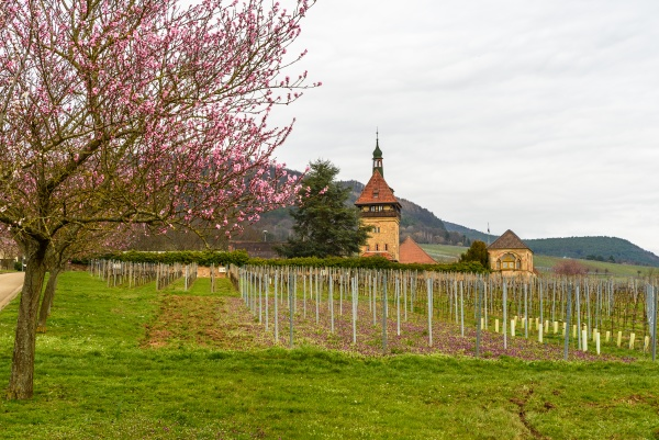 pink blossoming almond tree at geilweiler